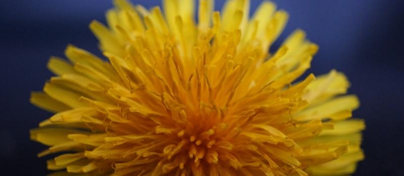 Honig aus Löwenzahnblüten (Credit: mylene2401/pixabay)